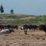Satisfacción de todo el sector por la concesión de ayudas directas a los ganaderos de reses bravas y toros de lidia en la C. Valenciana 1