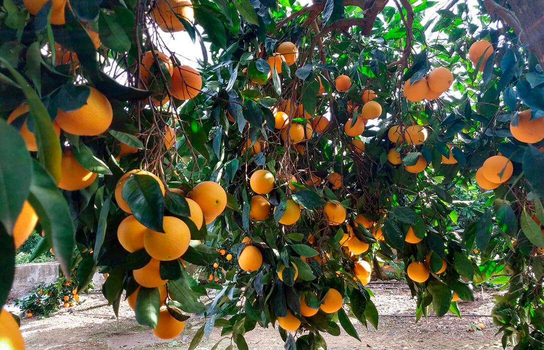 La campaña de la naranja cordobesa se encuentra en torno al 85% de recolección con una producción similar a la anterior