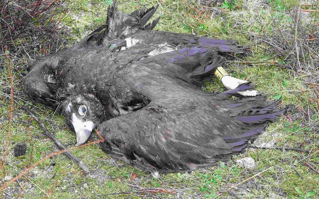 Diez meses de prisión y pago de 10.500€ por colocar cebos envenenados junto a un gallinero y provocar la muerte de 7 aves amenazadas