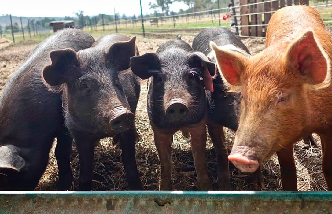 Propuesta para generar un registro de contratos de integración del sector porcino que protega a los ganaderos