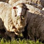 Ganaderos inscritos en Corderex crían los primeros corderos merinos australianos en España 1