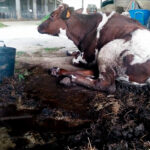 Lo que más daño hace a la ganadería: Equalia denuncia a siete explotaciones de vacas lecheras por graves irregularidades