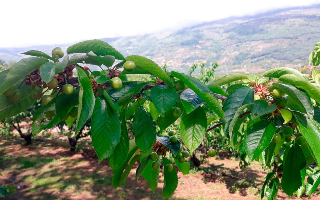 El Grupo Operativo FitosCerezo profundiza en el control integrado de plagas en el cultivo del cerezo