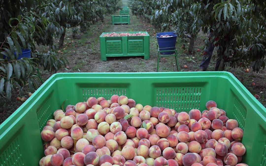 La fruta de hueso asoma ya con una caída de la producción nacional pero también con un descenso de la competencia europea