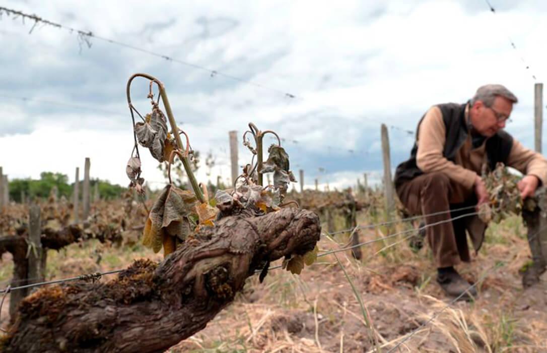Francia activa un fondo de emergencia de mil millones para paliar los efectos de unas heladas que afectan al 80% de los viñedos