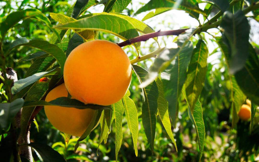 Reclaman la creación de una organización interprofesional para el sector de la fruta de hueso de ámbito nacional con sede en Murcia