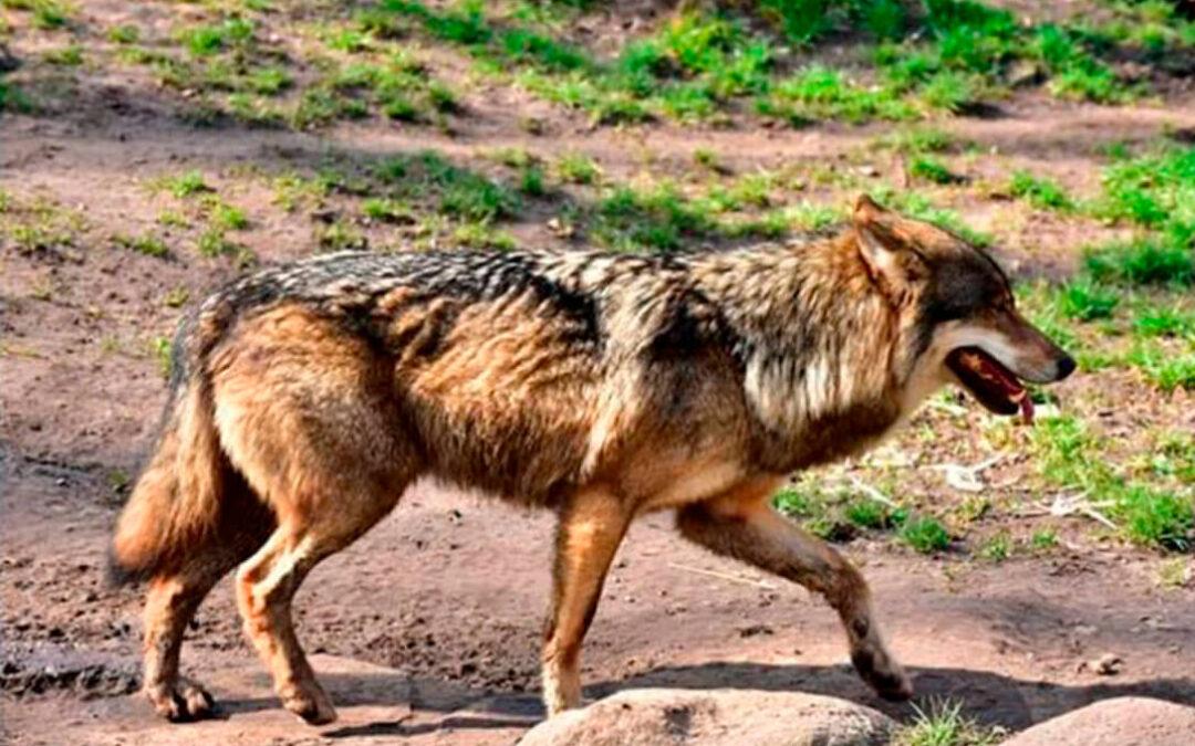 Un lobo salta la tapia de 3 metros de una granja, con ayuda de un contenedor de basura, y devora a una oveja en pleno casco urbano