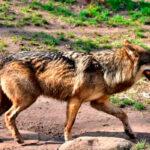 Un lobo salta la tapia de 3 metros de una granja, con ayuda de un contenedor de basura, y devora a una oveja en pleno casco urbano 1