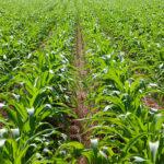 Los buenos precios del maíz, con una subida de 45€ desde su inicio, hace que se acelere la siembra y se dispare la superficie en León