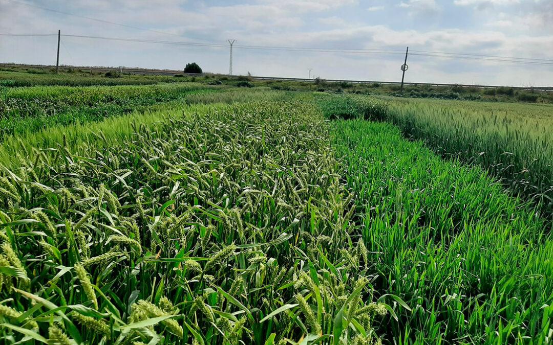 Los eco-esquemas, la futura realidad verde de los cereales españoles