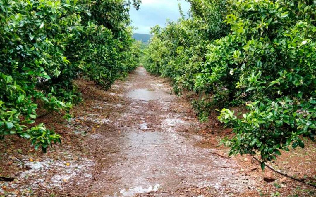 El pedrisco vuelve a afectar de gravedad a numerosos cultivos en Valencia y en Murcia, en especial en la fruta de hueso y cítricos
