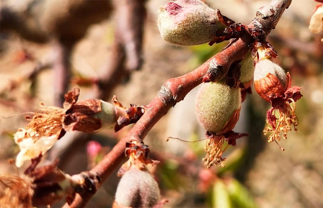 La campaña de fruta se inicia con unas pérdidas de cosecha de hasta el 70% por las fuertes heladas de primavera