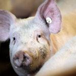 Un sector al alza gracias a un cambio de chip que llevó al porcino a afrontar sus grandes retos entre 2010 y 2020 1