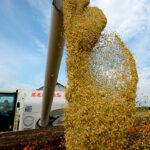 Los precios de los cereales en los mercados mayoristas siguen fuertes aunque las subidas ya son en menor medida que antes 1