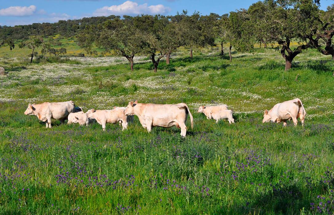 La Unión de Criadores de Charoles de España inicia un sistema de venta virtual de animales que arranca este viernes
