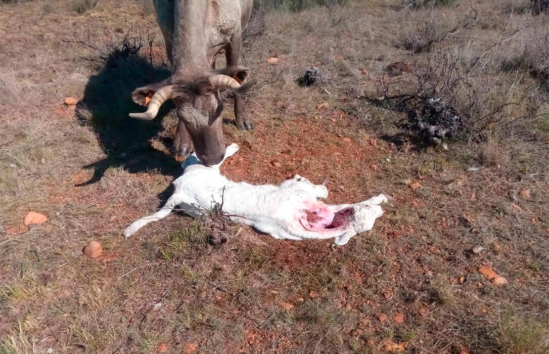 Denuncian un nuevo ataque de lobos con un ternero recién nacido muerto en una explotación ganadera en Zamora