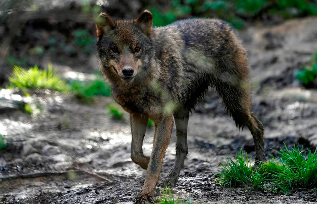 Ganaderos y asociaciones rurales constituyen la plataforma 'Convivencia Lobo' para denunciar la «desprotección» que sienten
