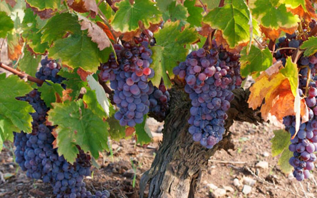 Cada vez más voces consideran la cosecha en verde como la medida más adecuada para abordar a corto plazo la crisis vitivinícola