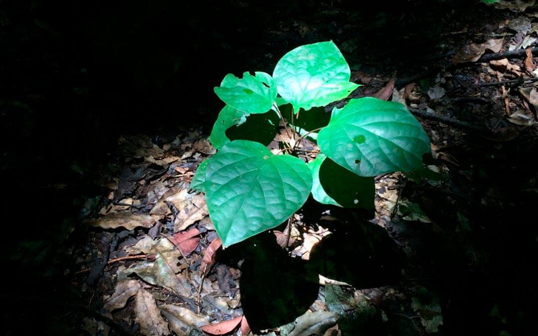 Las plantas de cultivo pueden adaptarse a crecer en condiciones de sombra lo que permitirá optimizar los invernaderos