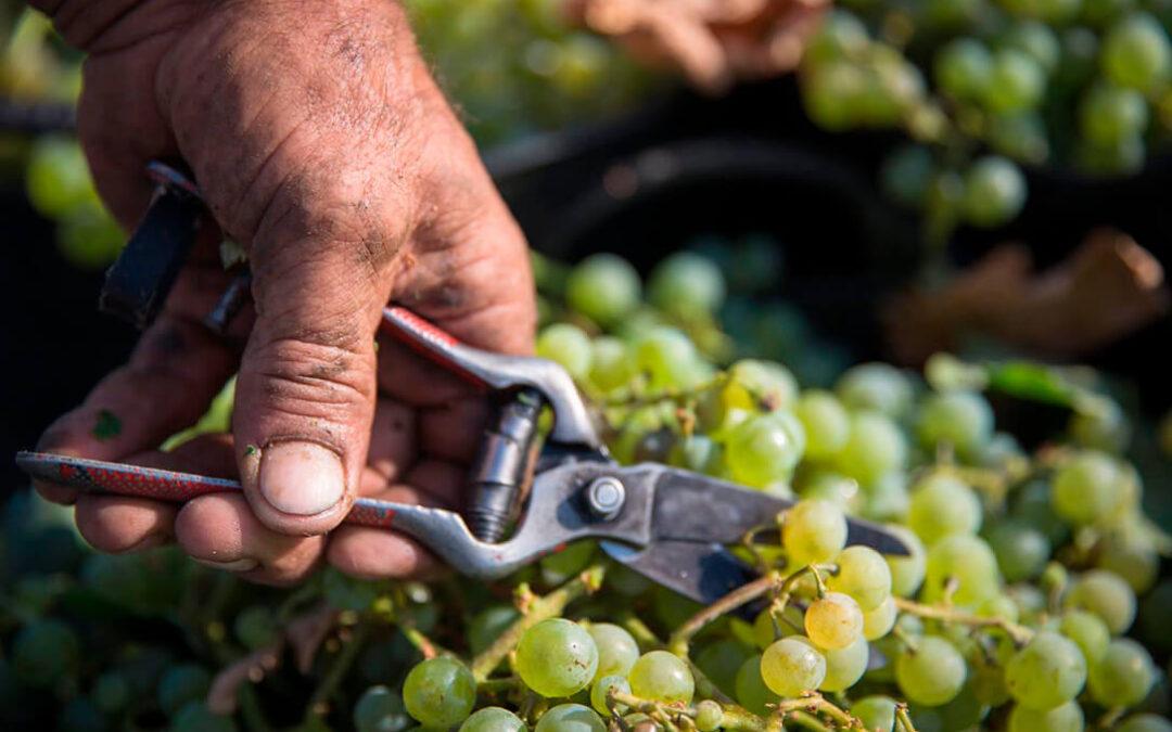Nueva apuesta por la cosecha en verde como mejor medida contra el exceso de vino incluso con los fondos del PASVE