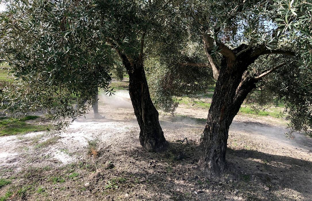 ICL pone en marcha dos proyectos en Baeza y Madrigalejos para evaluar los beneficios de Polysulphate en sistemas de olivo convencional y ecológico a largo plazo