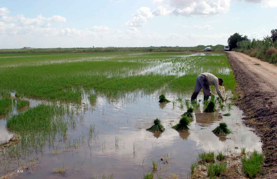 Los arroceros lograr ser exonerados de la condicionalidad de disponer de tres o más cultivos para percibir el pago verde de la PAC