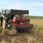 Comienza la recogida del ajo en Córdoba con una previsión de más cosecha y buenos precios