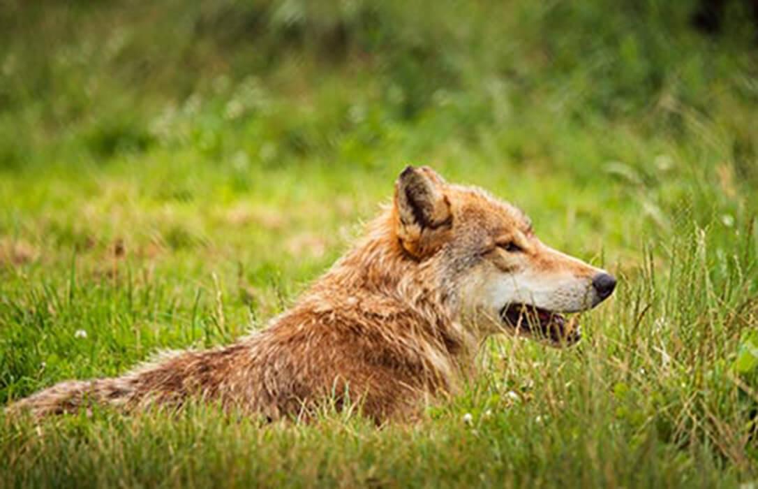El Miteco rompe las ilusiones: Niega que vaya a negociar «desde cero» un nuevo plan del lobo y dice que no hay cambio alguno en su plan