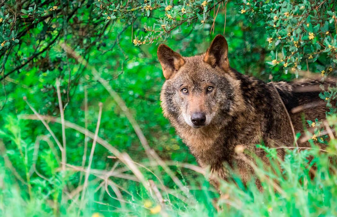Una moratoria en la protección del lobo: Satisfacción entre los ganaderos, enfado en los animalistas y dudas en algunas CCAA
