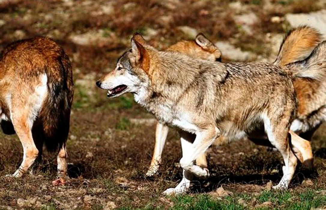 Frente autonómico de las CCAA más afectadas por el lobo en contra de la propuesta del Miteco de protegerlo