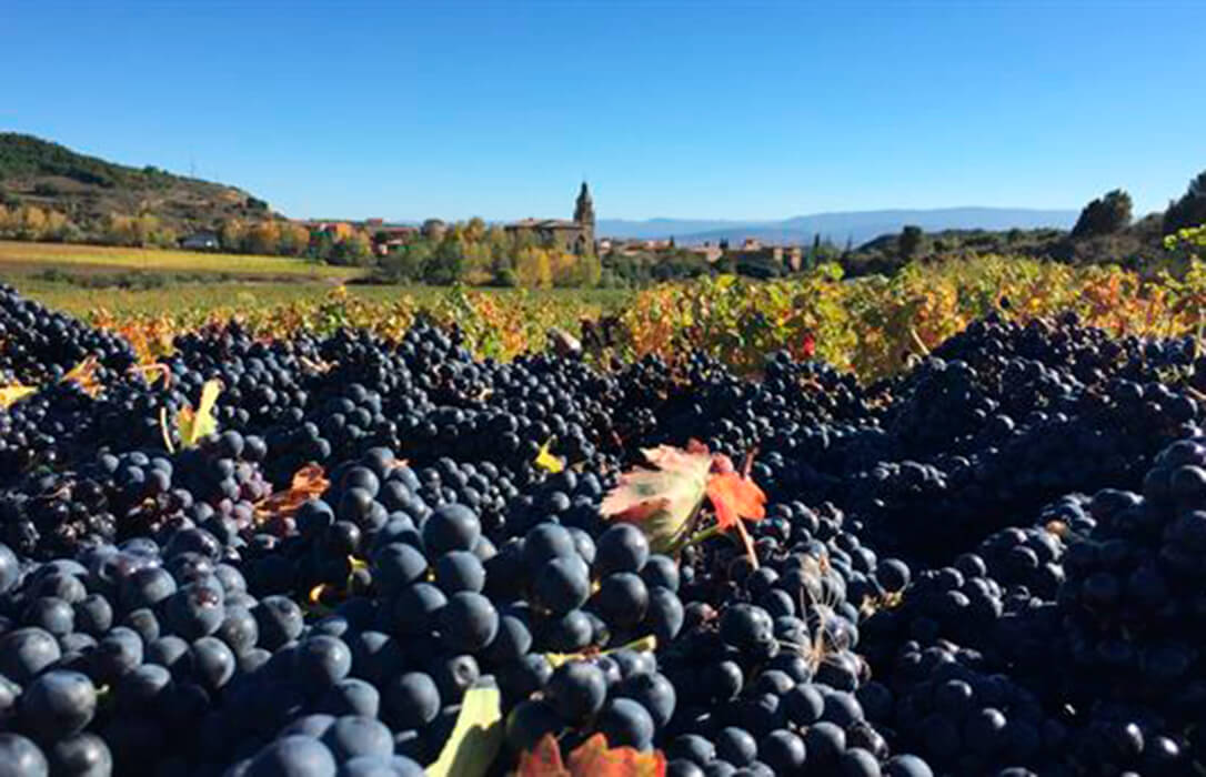 A los viticultores no le salen las cuentas del precio percibido la pasada campaña respecto a la actualización de los costes de produción