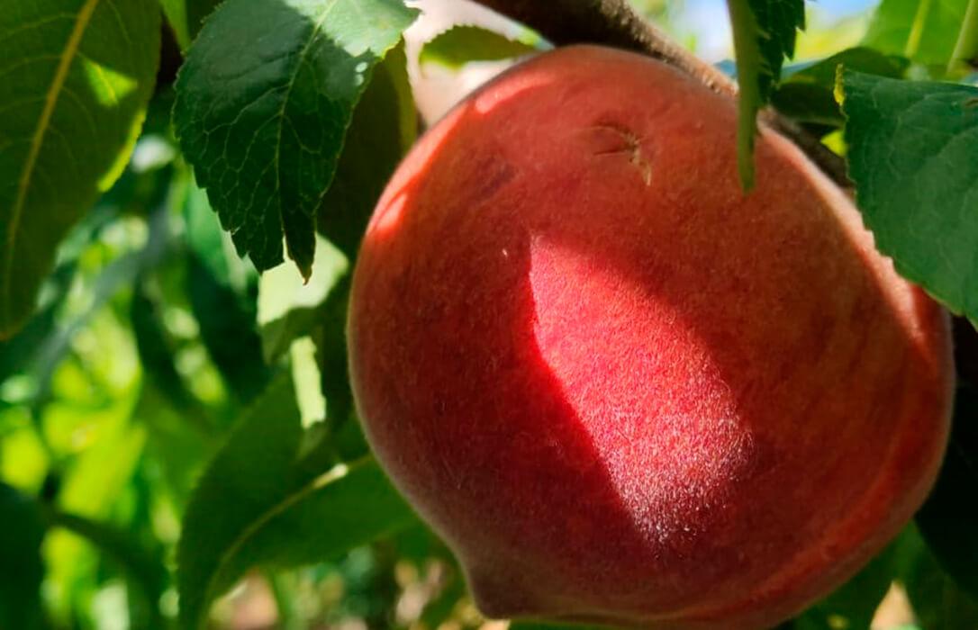 La cuarta tormenta de pedrisco en un mes en el campo valenciano daña muchos cultivos de frutas de hueso en La Ribera