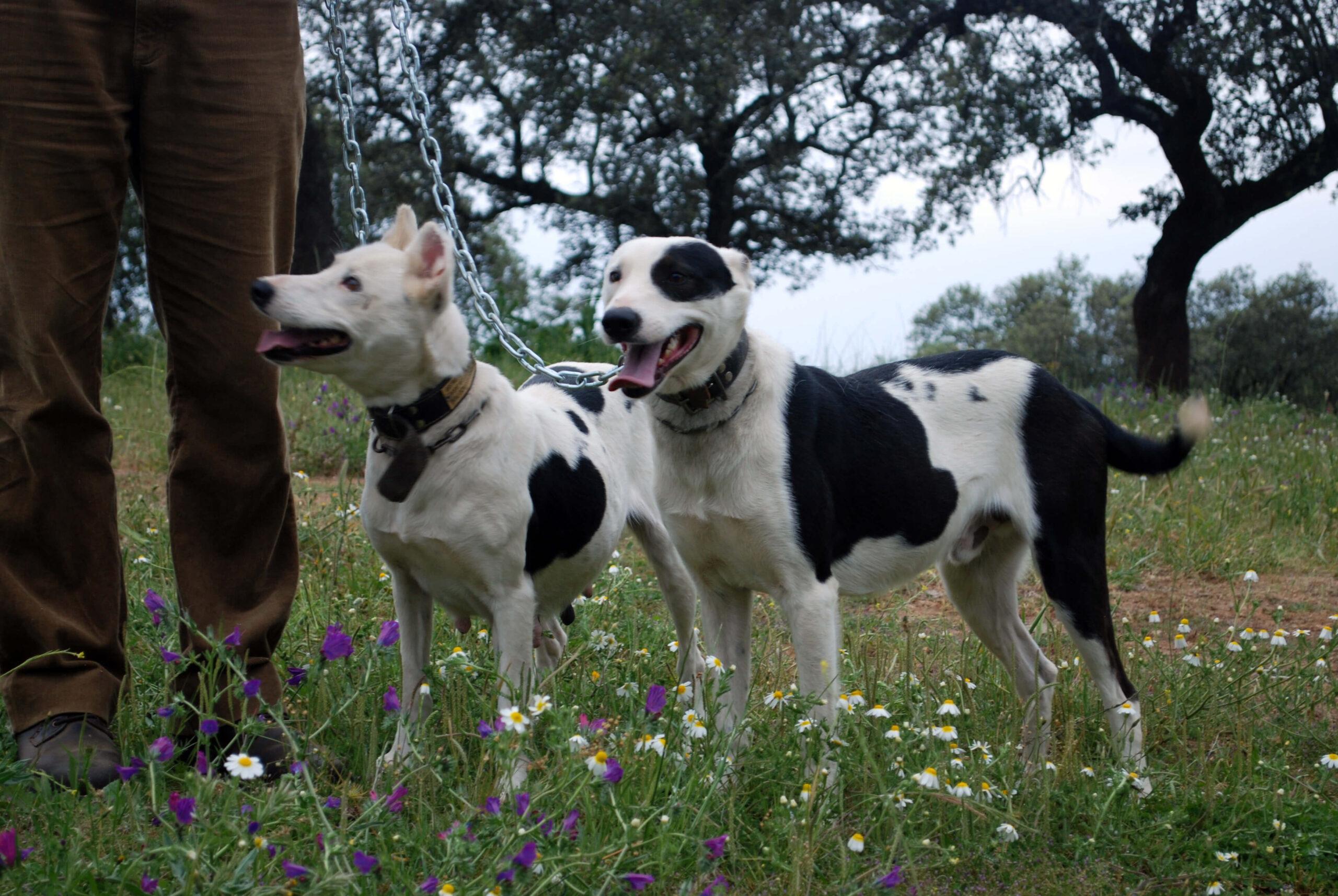 Rechazo al proyecto de Ley de Protección Animal andaluz: «Los perros de rehala no son ni animales de compañía ni mascotas»