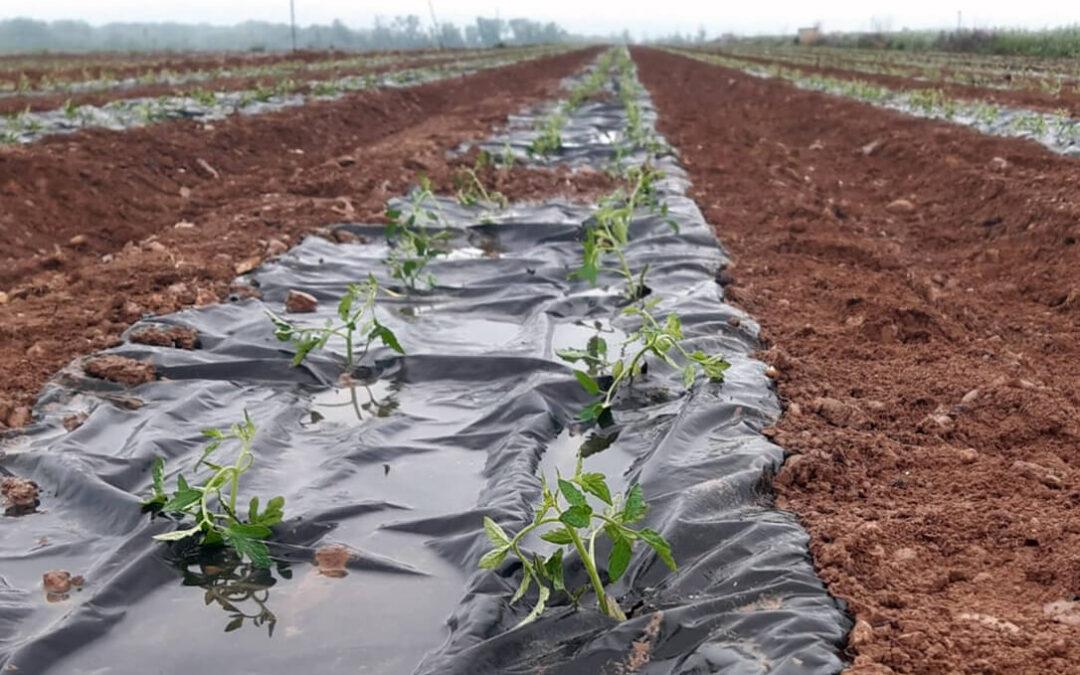 AN ensaya una innovadora solución en base a fibra de pino para sustituir el plástico agrícola en cultivos de tomates, pimientos y alcachofas
