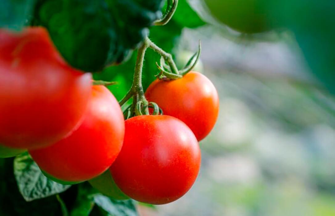 Lamentan que la dejadez de las administraciones provoca la pérdida del 16% de la superficie de tomate en Almería en 9 años