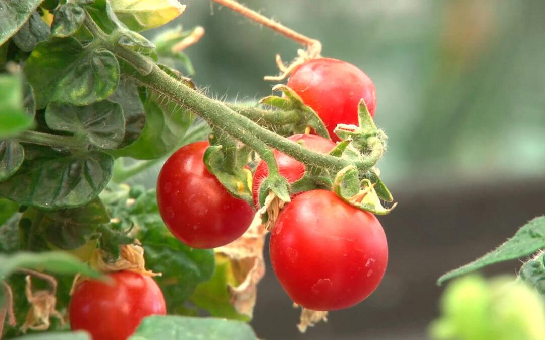 Descubren un nuevo mecanismo para controlar la maduración del tomate y que se pongan rojos más rápidamente