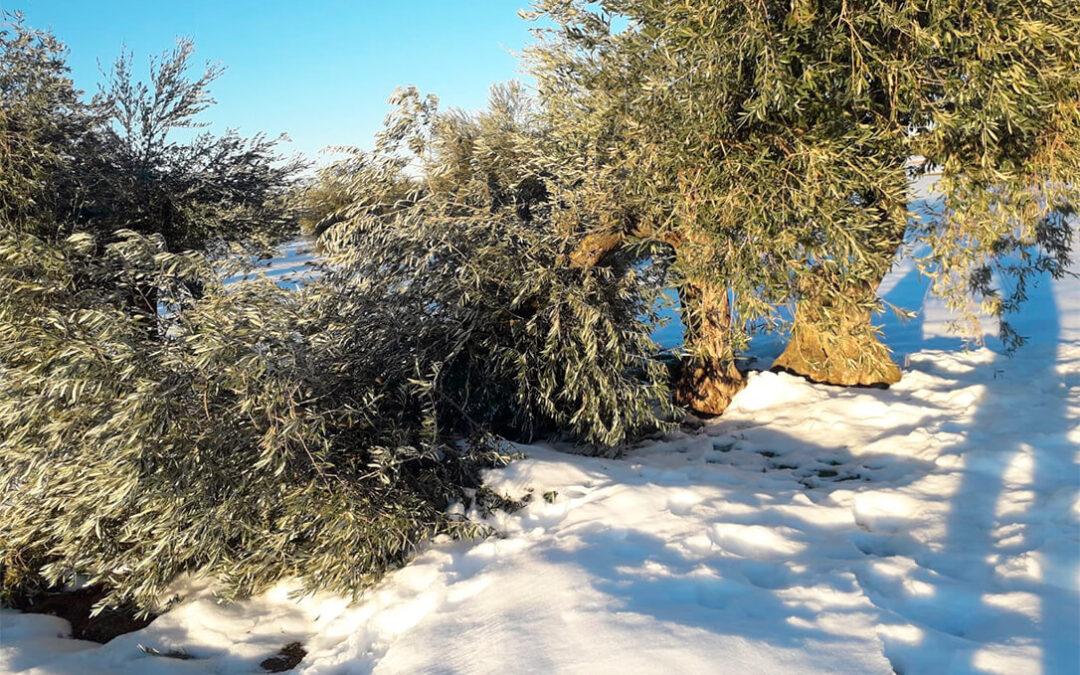 Habrá un plan de recuperación de 18 millones, con ayudas de hasta 12.000 euros, para los olivares afectados por Filomena