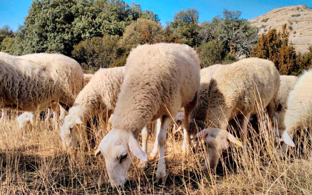 La detección de un brote de brucelosis ovina activa el protocolo de actuación en varias explotaciones en Aragón