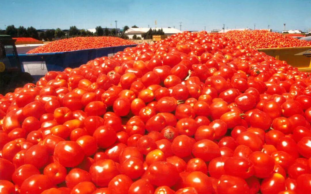 Buenas perspectivas en el tomate extremeño, con los precios al alza en torno a un 10 por ciento superiores al año pasado