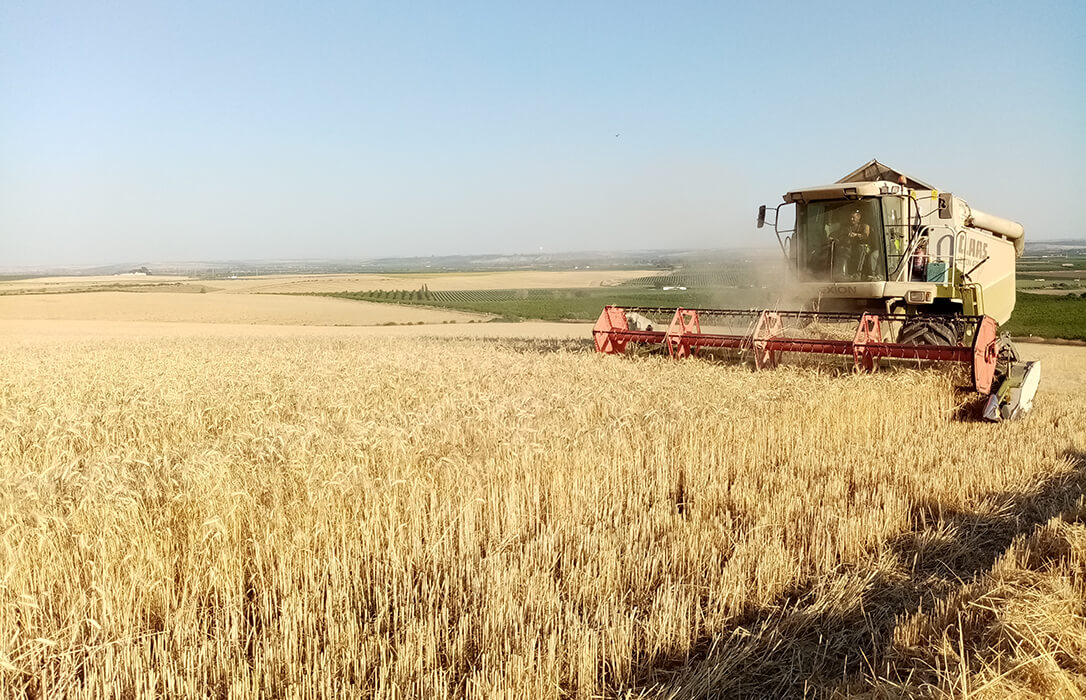 Concluye la campaña del cereal en Córdoba con un descenso de la producción del 25%, pero de buena calidad