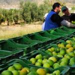 Consideran catastrófica la campaña del limón alicantino y estima unas pérdidas de 110 millones de euros