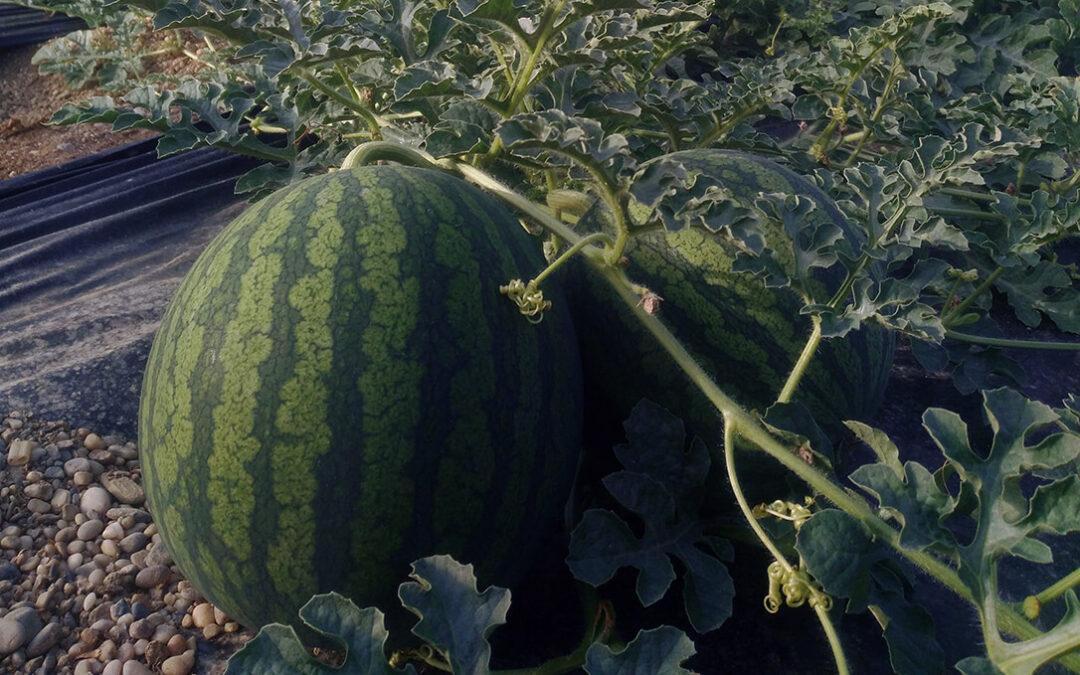 La campaña negra de melón y sandía bajo invernadero: Se cierra con unas pérdidas de entre 3.500 y 6.000 euros por hectárea