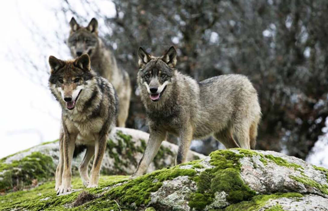 Responsabilizan a la Xunta de la inclusión del lobo en el LESPRE por no actualizar sus estudios sobre el censo oficial en la región