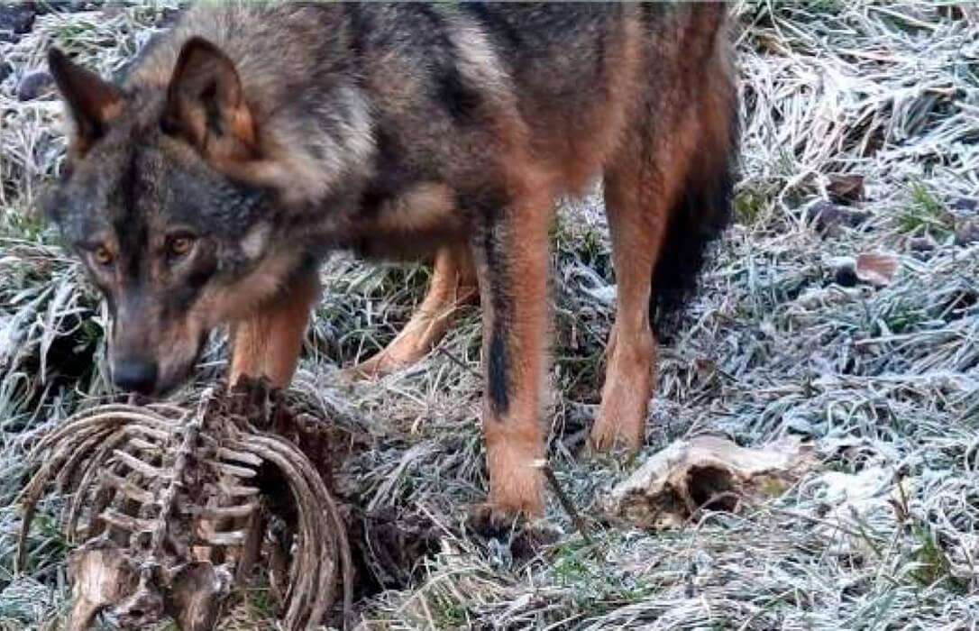 Los ganaderos asturianos mantienen su unidad de acción y alegan de forma conjunta contra la protección del lobo