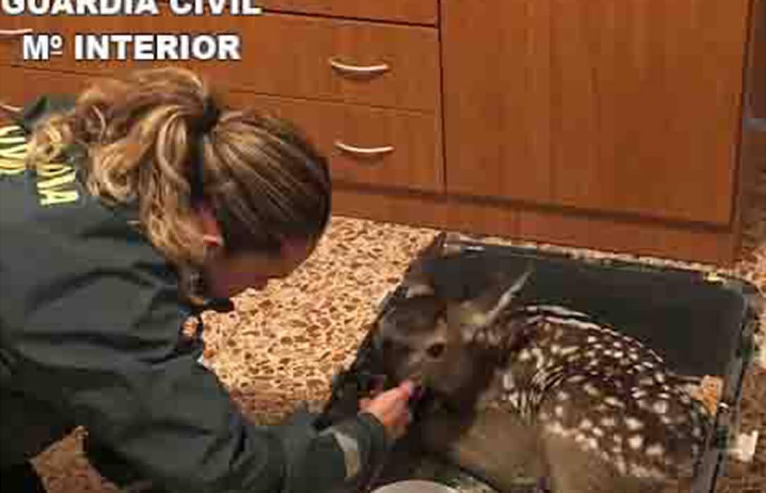 La Guardia Civil rescata a una cría de cierva que transportaban en el maletero de su vehículo para tenerla de mascota