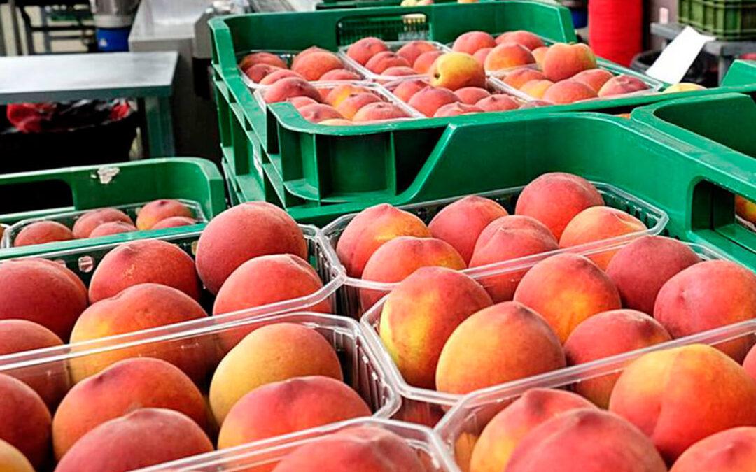Alertan de una distorsión en el mercado de fruta de hueso al inicio de campaña con menos kilos y menor precio