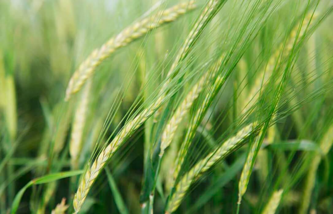 Estabilidad en los precios mayoristas de los cereales con una caída de la cebada frente a las ligeras subidas de otros cereales