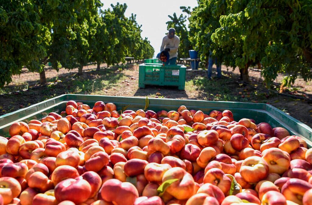 El problema de siempre: El paro sigue alto pero se está quedando fruta sin recolectar por falta de mano de obra