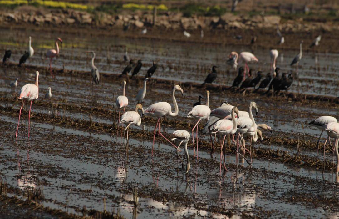 Una cosa es la foto y otra la realidad: Los flamencos agravan los daños de la fauna salvaje en los arrozales de La Albufera