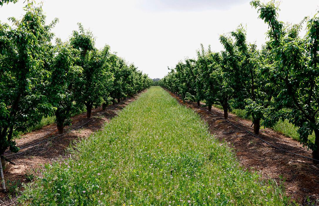 La caída de la producción de la fruta de hueso este verano puede caer un 20% y a pesar de ello los precios no mejoran